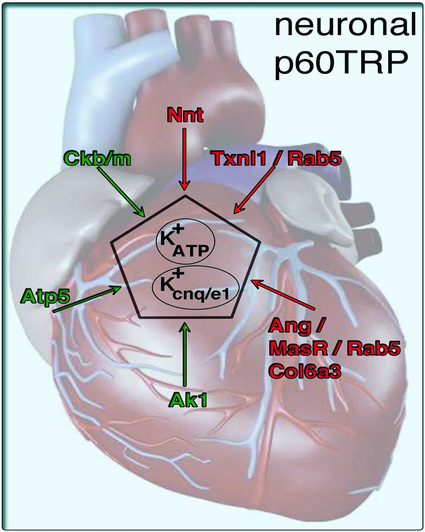 tg-p60TRP-heart